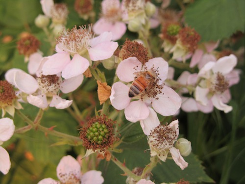 bees, beauty, brown hive, blackberries, herbicides, nectar flow